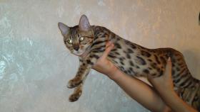 Foto 2 Bengalkitten, Bengalkatzen