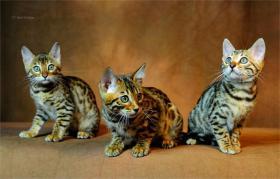 Foto 3 Bengalnachwuchs