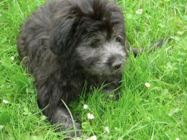 Berger  des Pyrenees - Pyren�ischer Sch�ferhund - Welpen