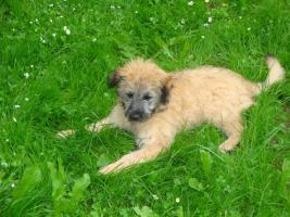 Foto 2 Berger  des Pyrenees - Pyren�ischer Sch�ferhund - Welpen