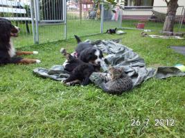 Foto 2 Berner Sennenhund