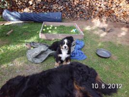 Foto 4 Berner Sennenhund