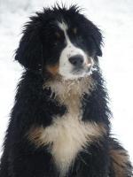 Berner Sennenhund FCI Welpen