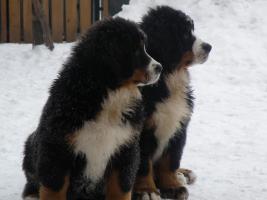 Foto 3 Berner Sennenhund FCI Welpen
