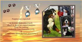 Foto 3 Berner Sennenhund Welpen