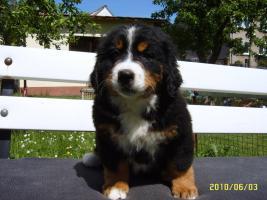Foto 3 Berner Sennenhund-Welpen