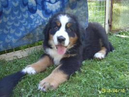 Berner Sennenhund/Welpen