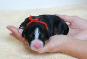 Foto 4 Berner Sennenhund Welpen