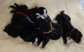 Foto 5 Berner Sennenhund Welpen