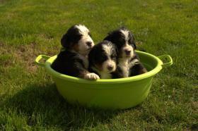 Berner Sennenhund Welpen aus Hobbyzucht mit Papiere