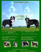 Berner Sennenhund Welpen mit Papiere