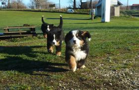 Foto 3 Berner Sennenhund Welpen mit Papiere
