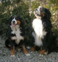 Foto 2 Berner Sennenhund Welpen mit Stammbaum
