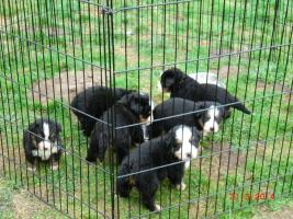 Berner Sennenhund Welpen ab 20.04., jetzt aussuchen !