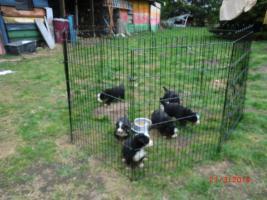 Foto 2 Berner Sennenhund Welpen ab 20.04., jetzt aussuchen !