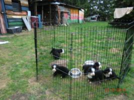 Foto 3 Berner Sennenhund Welpen ab 20.04., jetzt aussuchen !