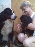 Foto 2 Berner Sennenhund Welpen zu verkaufen