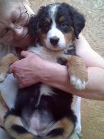 Foto 3 Berner Sennenhund Welpen zu verkaufen