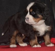 Foto 4 Berner Sennenhund welpen zu verkaufen