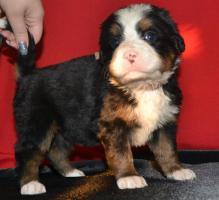 Foto 5 Berner Sennenhund welpen zu verkaufen