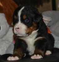 Foto 9 Berner Sennenhund welpen zu verkaufen