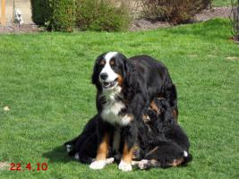Foto 5 Berner Sennenhunde '' VOM HAUNBERGER HOF'' IRJGV e.V