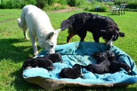 Foto 5 Bernersennen / wei�er Sch�ferhund Welpen