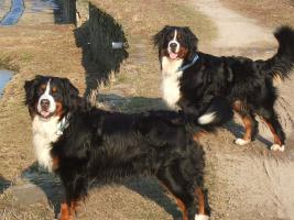 Bernersennenhunde-Deckrüden