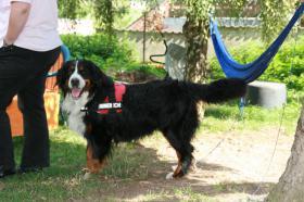 Foto 3 Bernersennenhunde-Deckrüden