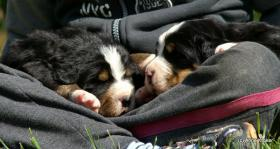 Foto 2 Bernersennenwelpen zu verkaufen