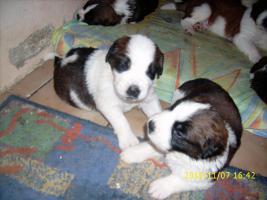 Foto 2 Bernhadiner welpen zum 7.12.2010