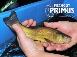 Besatzfische - 5 Schleie ca. 21-30 cm