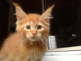 Bester Maine Coon Wurf der int. Rassekatzenausstellung in Wob+ 2mal Bestes Kitten