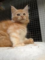 Foto 3 Bester Maine Coon Wurf der int. Rassekatzenausstellung in Wob+ 2mal Bestes Kitten