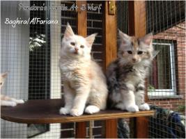 Foto 4 Bester Maine Coon Wurf der int. Rassekatzenausstellung in Wob+ 2mal Bestes Kitten
