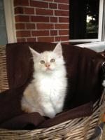 Foto 5 Bester Maine Coon Wurf der int. Rassekatzenausstellung in Wob+ 2mal Bestes Kitten