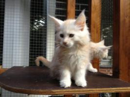 Foto 6 Bester Maine Coon Wurf der int. Rassekatzenausstellung in Wob+ 2mal Bestes Kitten