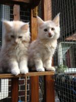 Foto 7 Bester Maine Coon Wurf der int. Rassekatzenausstellung in Wob+ 2mal Bestes Kitten