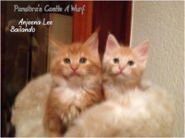 Foto 9 Bester Maine Coon Wurf der int. Rassekatzenausstellung in Wob+ 2mal Bestes Kitten