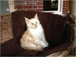Foto 12 Bester Maine Coon Wurf der int. Rassekatzenausstellung in Wob+ 2mal Bestes Kitten