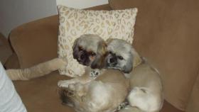 Betreuung für zwei kleine Shih Tzu Hunde