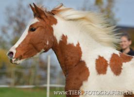 Bewegungsstarkes DRP - Pinto Pony für Tunier und Freizeit