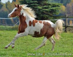 Foto 2 Bewegungsstarkes DRP - Pinto Pony für Tunier und Freizeit