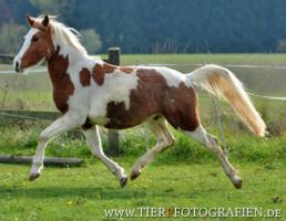 Foto 3 Bewegungsstarkes DRP - Pinto Pony für Tunier und Freizeit