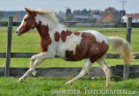 Foto 4 Bewegungsstarkes DRP - Pinto Pony für Tunier und Freizeit