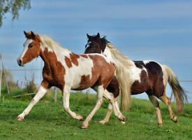 Foto 5 Bewegungsstarkes DRP - Pinto Pony für Tunier und Freizeit
