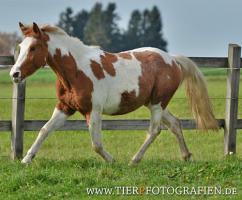 Foto 6 Bewegungsstarkes DRP - Pinto Pony für Tunier und Freizeit