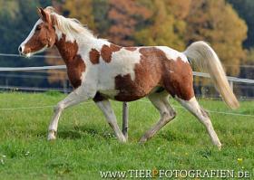 Foto 7 Bewegungsstarkes DRP - Pinto Pony für Tunier und Freizeit