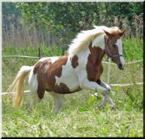 Foto 8 Bewegungsstarkes DRP - Pinto Pony für Tunier und Freizeit
