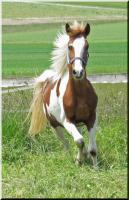 Foto 9 Bewegungsstarkes DRP - Pinto Pony für Tunier und Freizeit